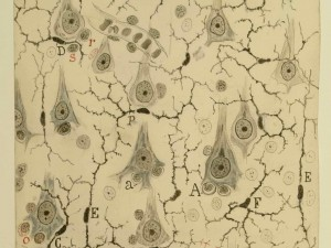 Santiago Ramón y Cajal: Microglia in the grey matter of the cerebral cortex, 1920; Chinese ink and graphite on paper; 69-5/16 x 6 5/32 in